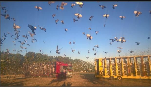 lachers pigeons 1