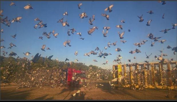 lacher pigeons 1